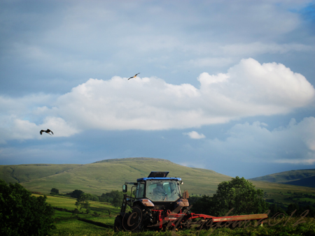 red kites over tractor