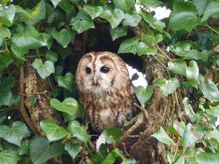 Hawk Conservancy tawny owl