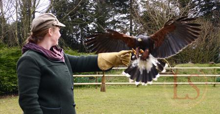 hawk conservancy harris hawk