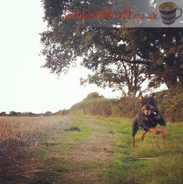 rottweiler-bounding-happily
