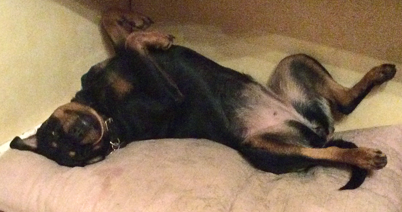 rottweiler-sleeping-petscaughtoncamera