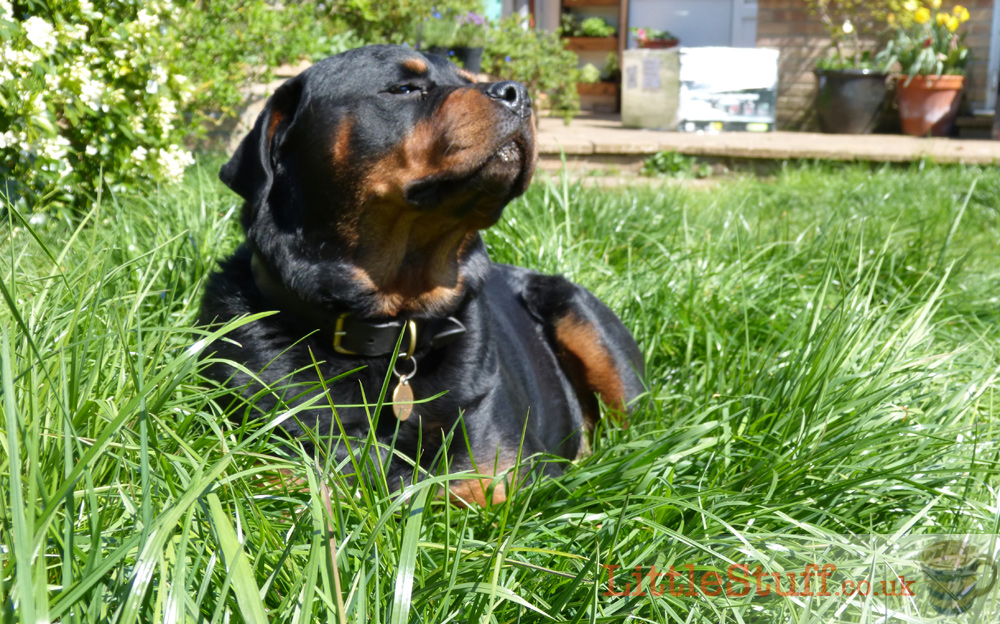 rottweiler-snoozing-in-long-grass