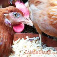 The Chicken Run – Thinking About Feeding Time.
