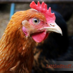 Buying cheap chicken food – The Chicken Run